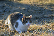 Domestic Cat Lurking Outdoors.
