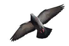 Pigeon In Flight Isolated On W...