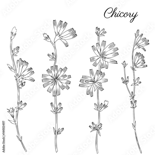 Chicory flower bud leaf hand drawn graphic vector botanical chicory flower bud leaf hand drawn graphic vector botanical illustration doodle ink sketch stopboris Choice Image