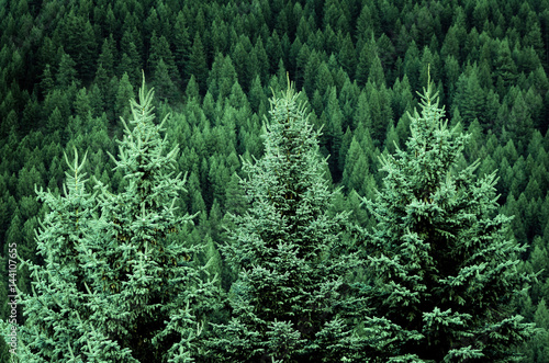 Fotografija  Forest of Pine Trees in Wilderness Mountains