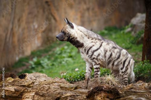 In de dag Hyena Striped hyena (Hyaena hyaena sultana)