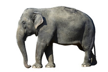 Elefant Isolated
