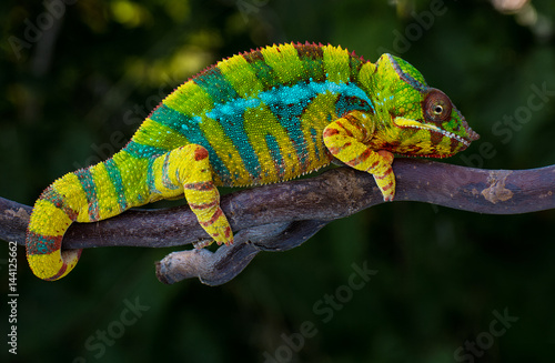 Foto op Plexiglas Kameleon Panther chameleon Furcifer pardalis