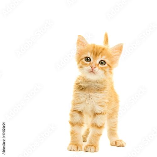 Tabby Turkish Angora Cat Kitten Looking At The Camera Isolated On A