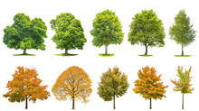 Trees Isolated White Background Oak Maple Linden Birch