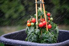 Cocktail Tomaten Im Regen