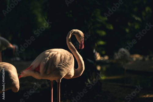 Tuinposter Flamingo Wildlife background with low key filter, Greater Flamingo bird is standing with natural forest background.