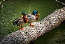 Two Mallard Ducks Standing On A Log