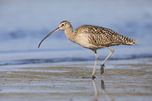 Long-billed Curlew Foraging At...
