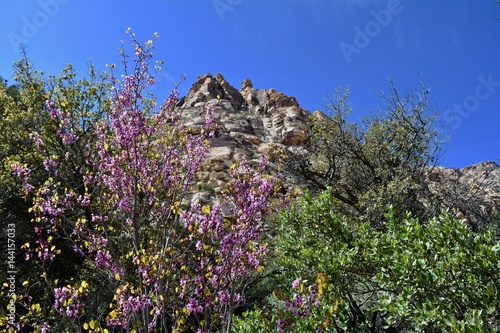 Fotografie, Obraz  Western Redbud Blooming Red Rock Canyon Las Vegas