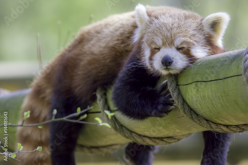 Red Panda Sleeping. Cute animal taking an afternoon nap. Wallpaper Mural