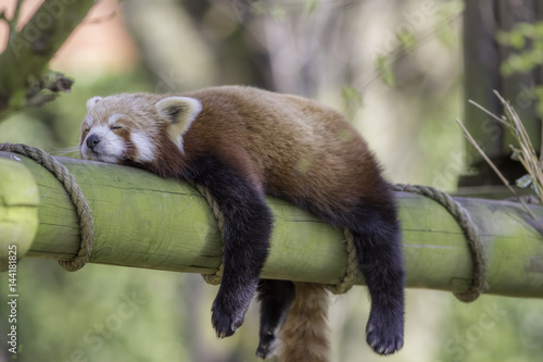 Stickers pour porte Panda Sleeping Red Panda. Funny cute animal image.