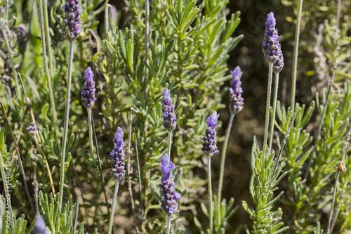 Fotobehang Lavendel lavande en pleine nature
