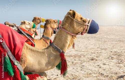 Deurstickers Kameel Kamele in der Wüste von Katar bei Doha