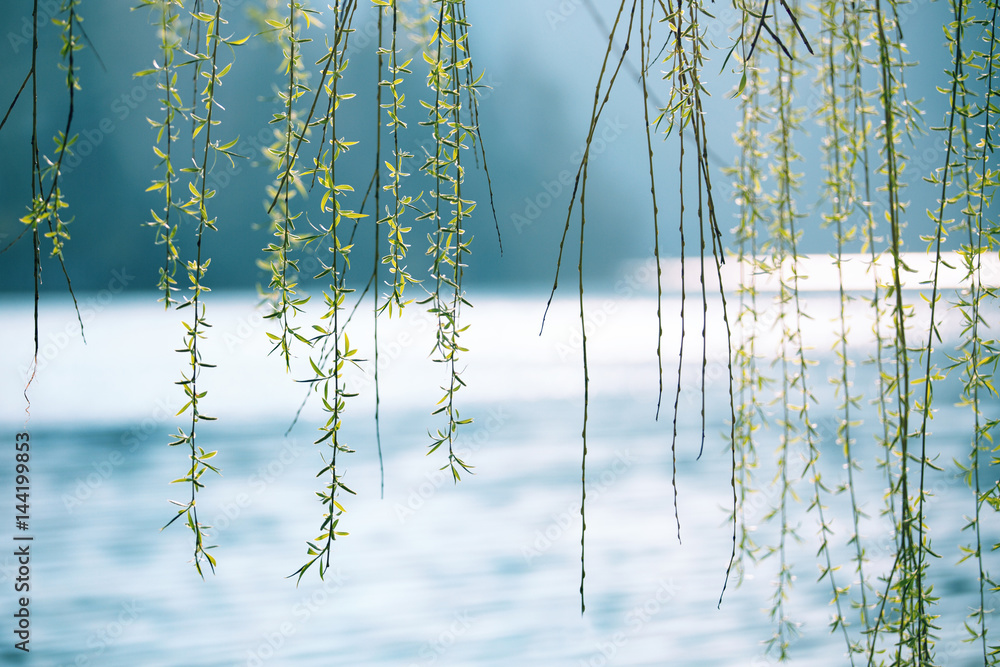 Fototapeta Spring season weeping willow above the blurred sunny lake. Selective focus used.