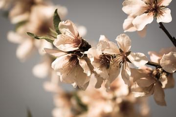 fototapeta kwitnące drzewo migdałowe