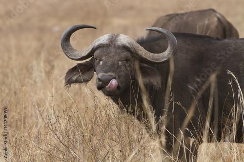 Staande foto Buffel bufalo con lingua fuori