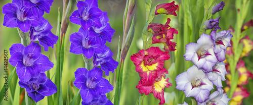 Photo gladiolus in garden close up