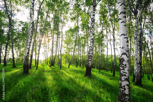 Poster Forest summer in sunny birch forest
