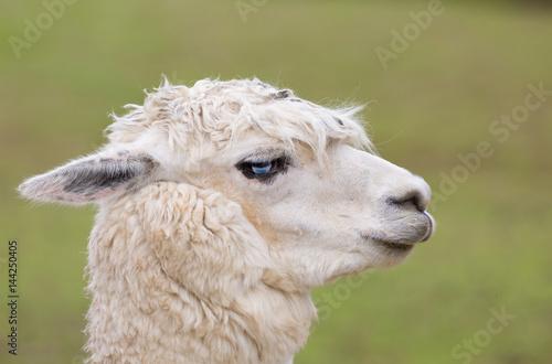 Weißes Lama mit komischer Frisur Poster