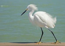 Snowy Egret On The Beach With ...