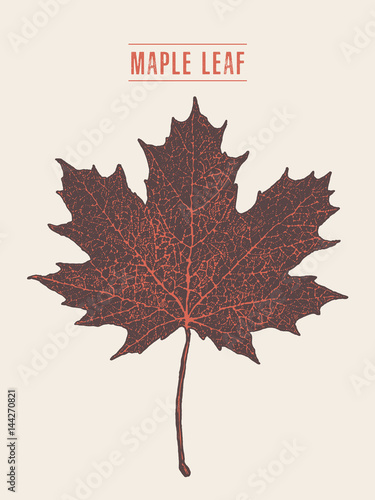 Fotomural High detailed vector maple leaf drawn sketch