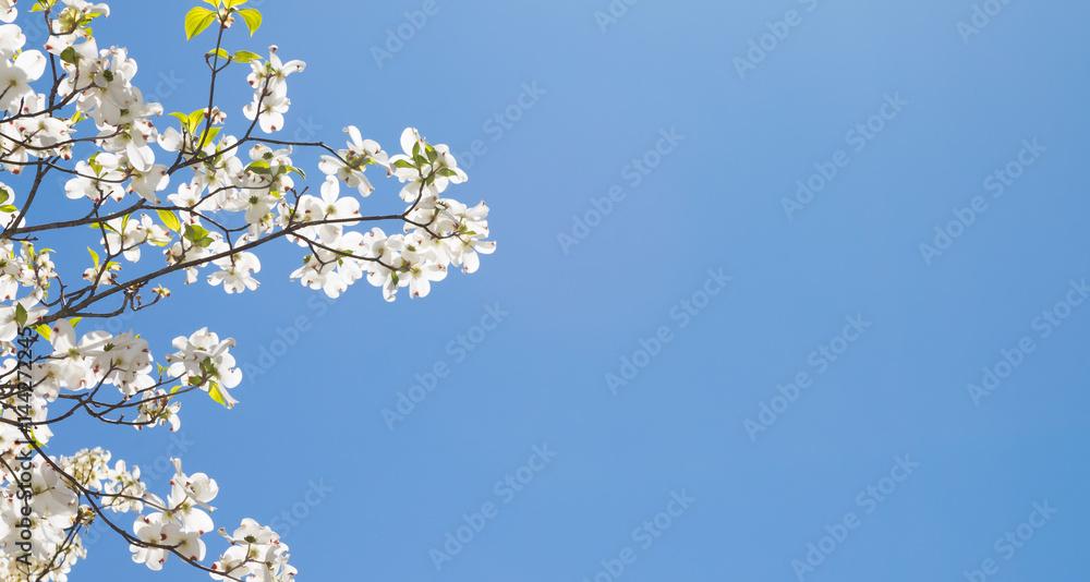 Dogwood tree against a blue sky.