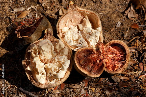 Keuken foto achterwand Baobab Broken baobab tree fruit and seeds, Madagascar