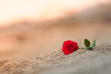 Single Rose On The Beach.