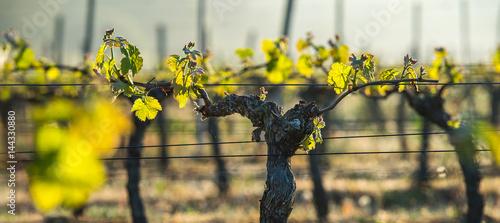 Fotomural  First spring leaves on a trellised vine growing in vineyard