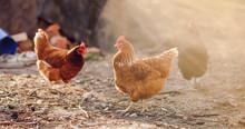 Free Range Chicken On A Tradit...