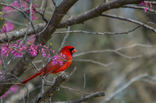 A Red Male Cardinal Sits Amongst The Pinkish Purple Blooms Of A Redbud Tree At The Beginning Of Spring