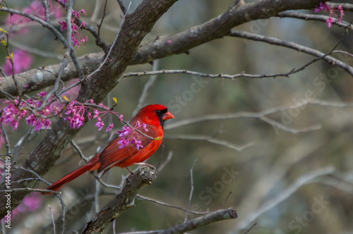 Photo  A red male cardinal sits amongst the pinkish purple blooms of a redbud tree at t