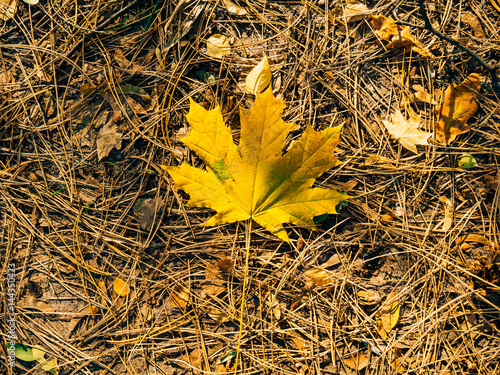 Photo Texture of autumn leaves. Yellow maple leaf litter.