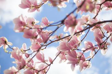 Panel Szklany Do gabinetu lekarskiego/szpitala Kwitnące kwiaty Magnolii - wiosna