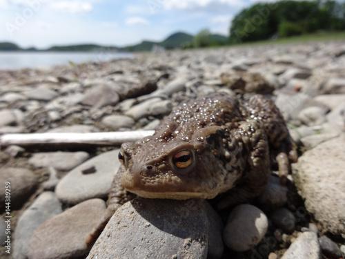 Foto op Plexiglas Krokodil Frog on gravel