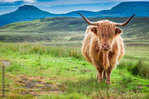 Brown highland cow in Isle of Skye in Scotland