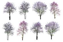 Purple Tree (Lagerstroemia) Isolated On White Background