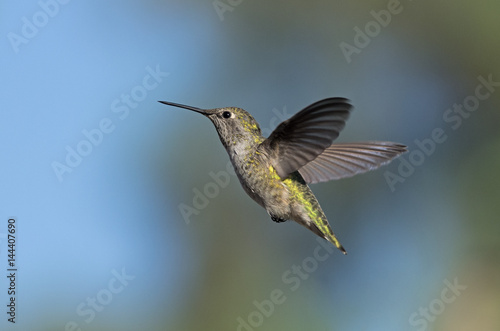 Female Anna's hummingbird. Poster