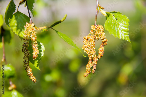 Birch catkins with green leaves at tree branches