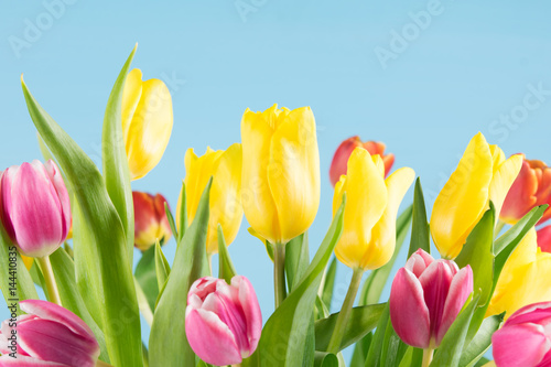 Fototapety, obrazy: Many multicolored tulips grow on a blue background