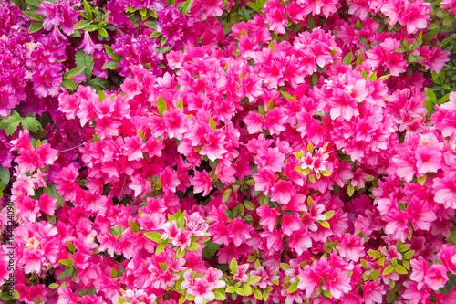 Papiers peints Azalea Azalea rosa fiorita