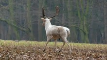 Grace White Deer With Horns Running In The Woods In Slow Motion.