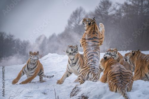 In de dag Tijger Siberian Tigers in China