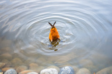 Orange Duck Dived Into The Wat...