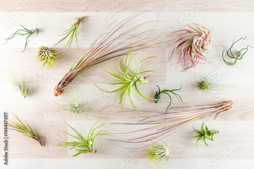 Top view on different tillandsia air plants on wooden background Canvas Print