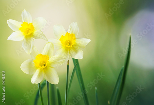 Three flower daffodils in spring outdoors in grass in the sun close-up on green blurred background. A beautiful spring template for design.