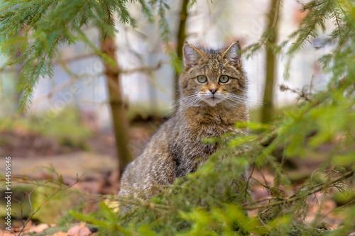 Photo Cute close up of European wild cat