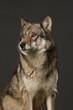 Wolf als Studioaufnahme mit schwarzem Hintergrund