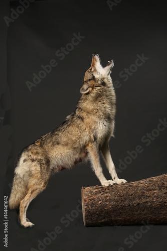 heulender wolf bilder